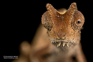Brown leaf chameleon (Brookesia superciliaris) - DSC_9859