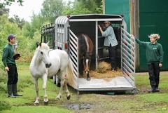 Exmoor Pony at Snelsmore Common (c) A R Wallington 2018