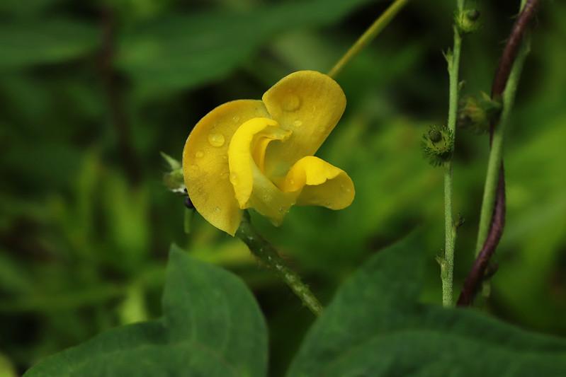 Vigna angularis var. nipponensis  ヤブツルアズキ