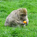 Monkey With Orange