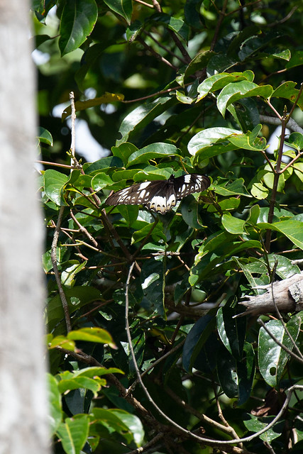 Ornithoptera meridionalis meridionalis (Southern Tailed Birdwing) female