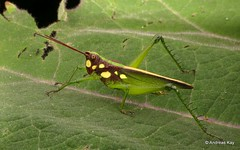 Grasshopper, Agriacris magnifica, Romaleidae