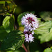 Water mint flower (with visiting insect)