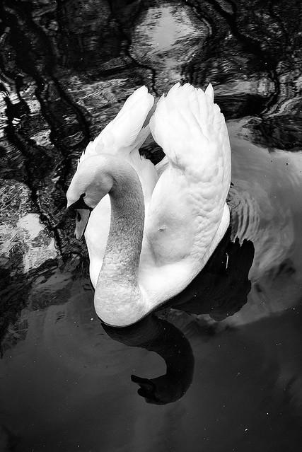 0839 White Swan Black Water