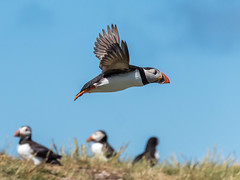 Puffin fly-past