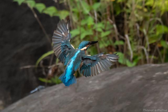 20180909-kingfisher-DSC_8477