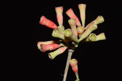 Syzygium claviflorum  MalandaFalls