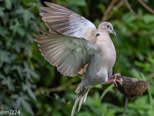 Collared Dove in full sail | by dudutrois