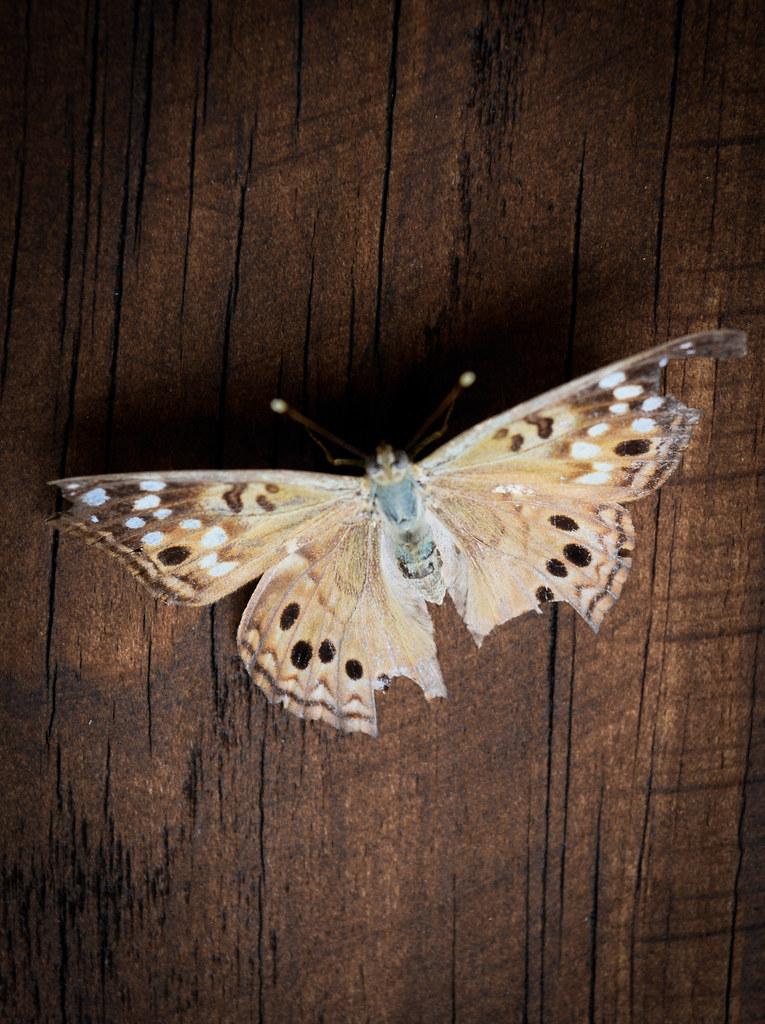 Hackberry Emperor Butterfly 2