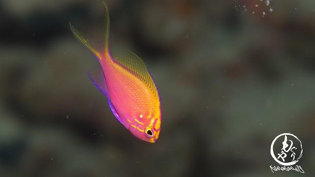 もういっちょ。ハナゴンベ幼魚ちゃん♪