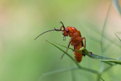 Téléphore fauve - Common red soldier beetle -Rhagonycha fulva