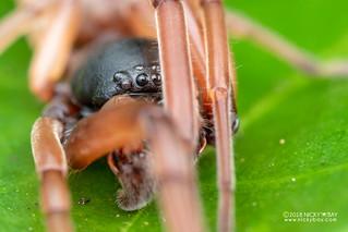 Sac spider (Paccius sp.) - DSC_1944