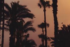 Sunset through palms.