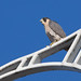 Peregrine on the Homestead High Level Bridge.