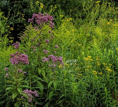 Joe-Pye Weed. Cone Flowers. Tickseed Sunflowers