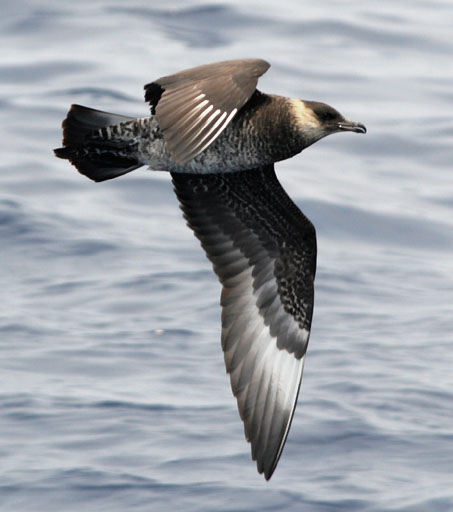 Stercorarius pomarinus flying above the Atlantic Ocean off of Hatteras, North Carolina. Photo taken by Patrick Coin on June 23, 2007.