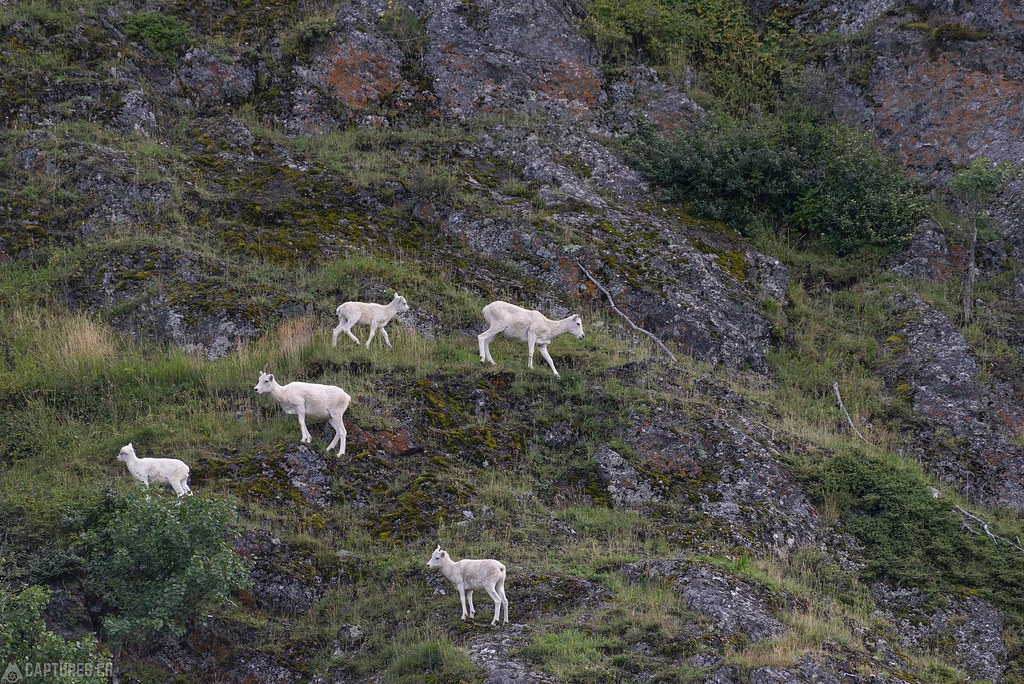 Dall sheeps - Alaska