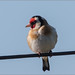 Goldfinch (K1_P512)