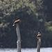 Marsh harrier and osprey #2