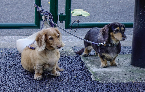 Dachshund dogs in outdoor