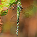 Southern Hawker,female,Town Common,Dorset.