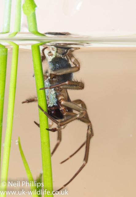 Water spider-7
