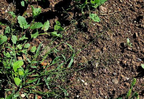 Eragrostis minor ou pas ? [identification à suivre] 43999303664_1de93d3349