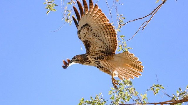 A Hawk's Take Off and Flight