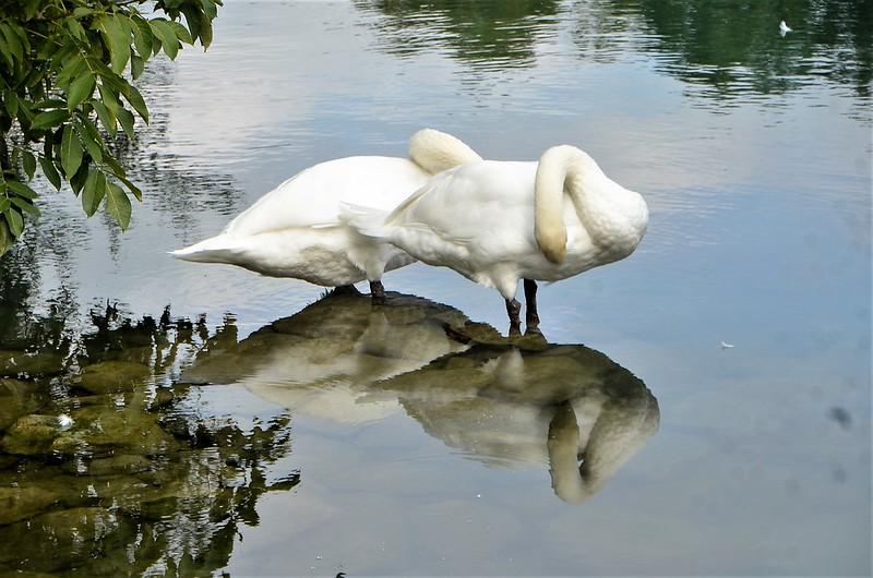 Swans 30.08 (27)
