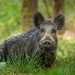 Boar by Mark Eggleton