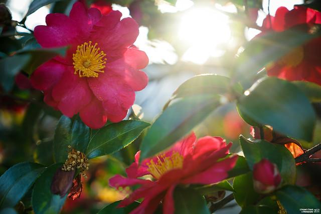 紅色的花朵