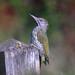 Green Woodpecker (Juvenile)