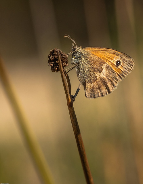 Fadet commun, procris, coenonympha pamphilus