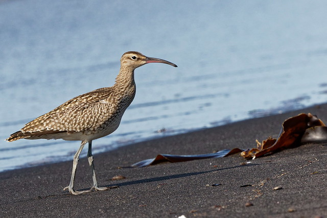 Whimbrel, Canon EOS 7D MARK II, Canon EF 500mm f/4L IS II USM