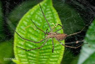 Nursery web spider (Pisauridae) - DSC_2049