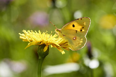 Clouded yellow (HMM!)