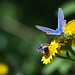 Common Blue and Bee