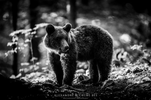 Brown Bear from Slovenia, Canon EOS 5D MARK IV, Canon EF 500mm f/4L IS II USM