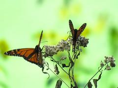 2 Monarchs sharing a flower