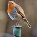 Robin-rest