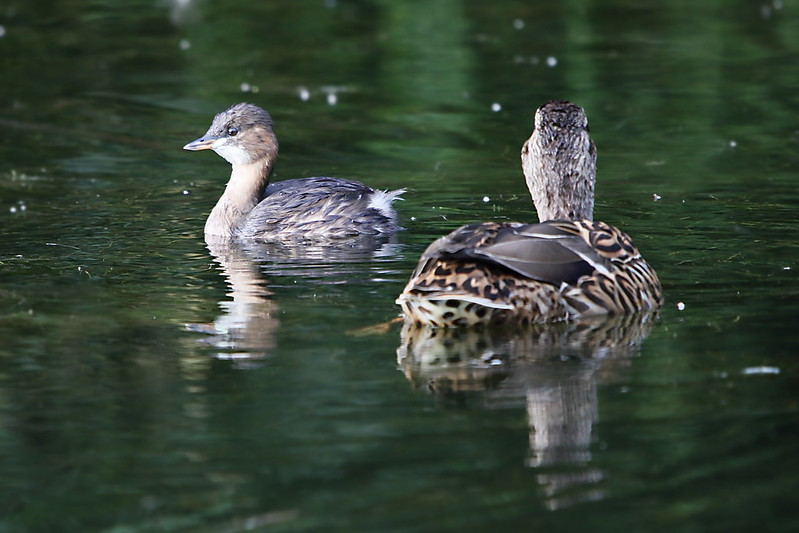 Little Grebe & Mallard