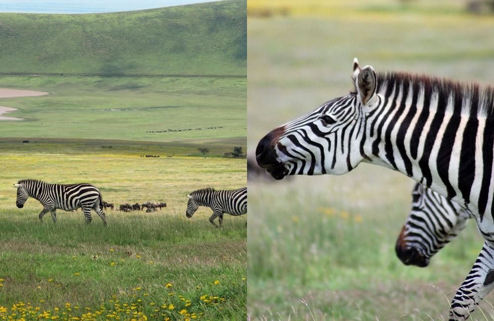 dslr-zoom-lens-zebras