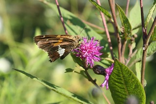 2018-8-21. Silver Spotted Skipper 1