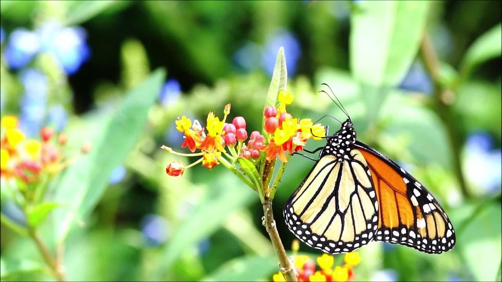 Monarch Slow Motion 082519 Clip 20