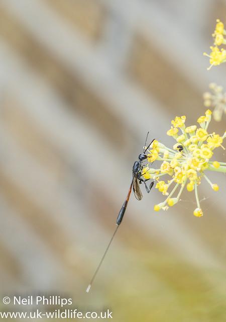 Gasteruption jaculator wasp-3