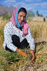 Binding the sheaves, a Wakhi lady harvesting barley  in Chapursan valley 06/08/2018 :copyright: Bernard Grua