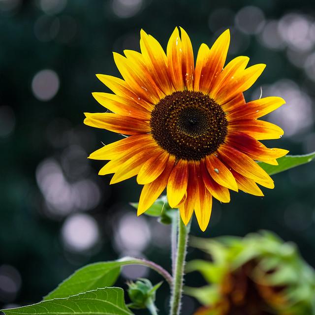 Sunflower, Munsinger Gardens 8, Fujifilm X-T2, XF60mmF2.4 R Macro