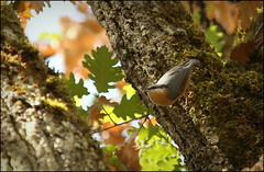 Nuthatch - Photo of Reilhac