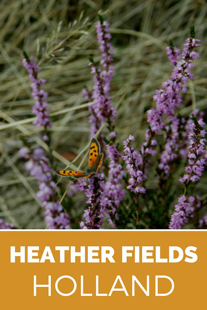 Nature in Holland, see the Dutch heather fields in full bloom August to September | Your Dutch Guide