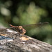 Happy Dragonfly - Woods Mill (048)